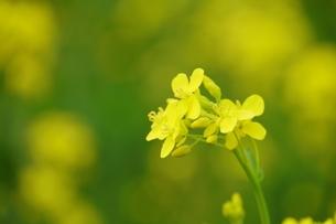 菜の花の写真素材 [FYI04309209]