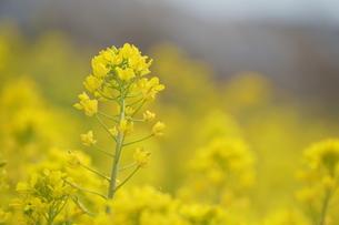 菜の花の写真素材 [FYI04309211]