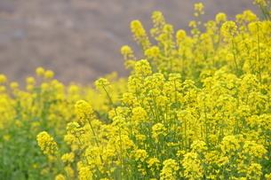 菜の花の写真素材 [FYI04309212]