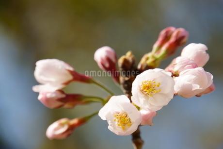 桜の写真素材 [FYI04309213]