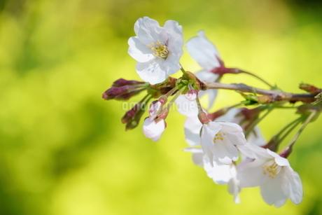 桜の写真素材 [FYI04309216]