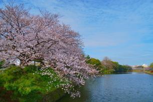 福岡市舞鶴公園のお堀と桜の写真素材 [FYI04309223]