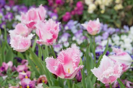 チューリップの咲く花壇の写真素材 [FYI04309300]