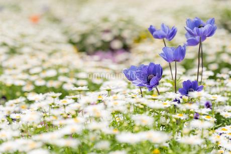 紫のアネモネとデイジーの花壇の写真素材 [FYI04309311]