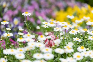 春の花壇風景の写真素材 [FYI04309313]