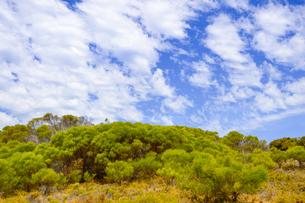 オーストラリア・西オーストラリア州のフリーマントルの沖合約18kmのインド洋に浮かぶロットネスト島の木々と白い雲の光景の写真素材 [FYI04309416]