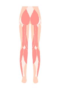 下半身の筋肉 後ろ向きのイラスト素材 [FYI04309509]