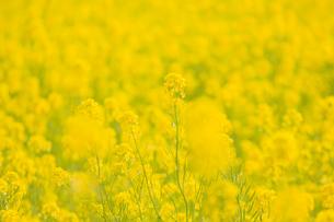 菜の花の写真素材 [FYI04309556]