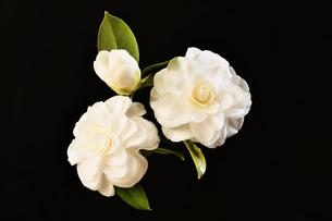 白い山茶花の写真素材 [FYI04309726]