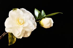 白い山茶花の写真素材 [FYI04309727]