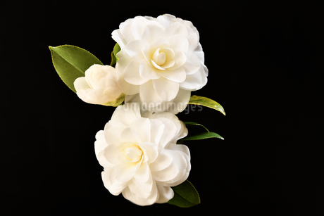 白い山茶花の花の写真素材 [FYI04309728]