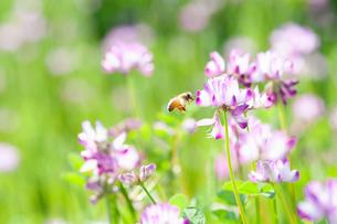 レンゲの花と蜜蜂の写真素材 [FYI04309861]