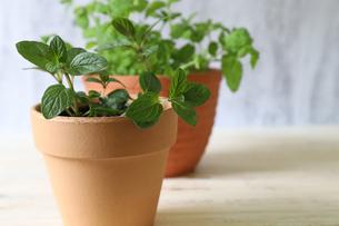 ミントの鉢植えの写真素材 [FYI04310132]