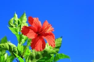 ハイビスカスの花と青空の写真素材 [FYI04310308]