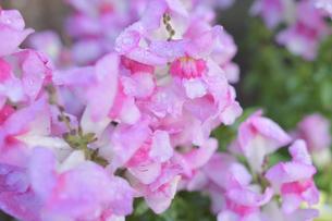 ピンクの金魚草の写真素材 [FYI04310332]