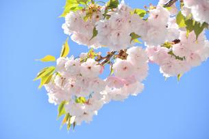 八重桜の写真素材 [FYI04310333]