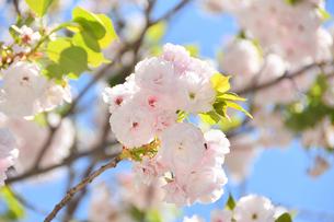 八重桜の写真素材 [FYI04310334]