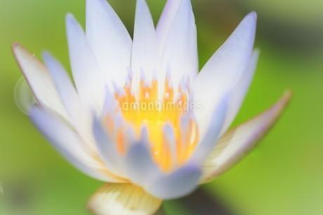 ハスの花の写真素材 [FYI04310335]
