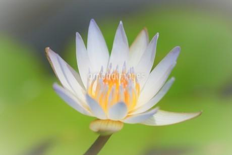 ハスの花の写真素材 [FYI04310336]