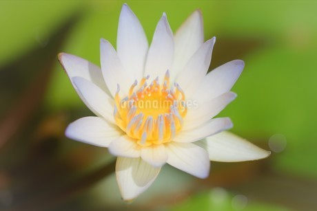 ハスの花の写真素材 [FYI04310337]