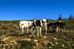 信州 長野県小県郡長和町美ケ高原美ヶ原牧場の牛の写真素材 [FYI04310365]