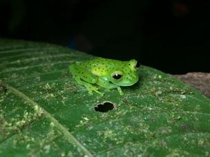 透明ガエル Glass Frogの写真素材 [FYI04310593]