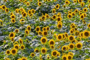 兵庫県 ひまわり柚遊農園の写真素材 [FYI04310656]