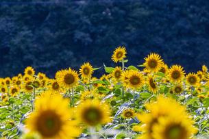 兵庫県 ひまわり柚遊農園の写真素材 [FYI04310658]