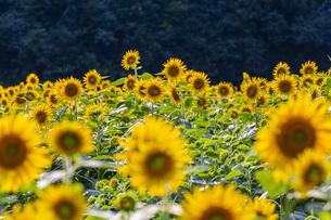 兵庫県 ひまわり柚遊農園の写真素材 [FYI04310660]