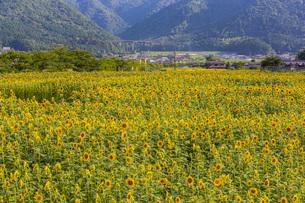 兵庫県 ひまわり柚遊農園の写真素材 [FYI04310662]