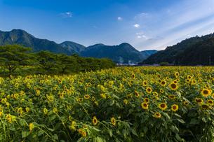 兵庫県 ひまわり柚遊農園の写真素材 [FYI04310666]