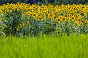 兵庫県 ひまわり柚遊農園の写真素材 [FYI04310668]