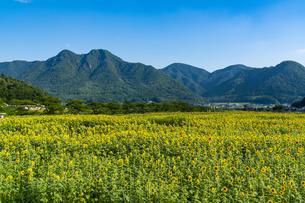 兵庫県 ひまわり柚遊農園の写真素材 [FYI04310685]