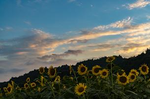 兵庫県 ひまわり柚遊農園の写真素材 [FYI04310697]