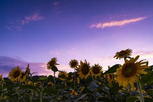 兵庫県 ひまわり柚遊農園の写真素材 [FYI04310702]