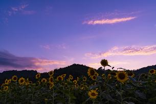 兵庫県 ひまわり柚遊農園の写真素材 [FYI04310703]