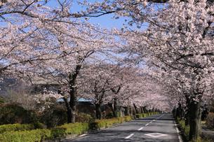 埼玉県長瀞の北桜通りに咲く染井吉野桜の写真素材 [FYI04310721]
