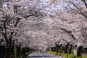 埼玉県長瀞の北桜通りに咲く染井吉野桜の写真素材 [FYI04310722]