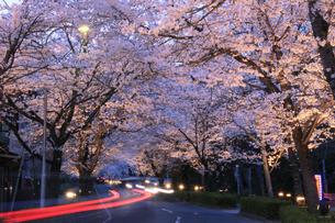 埼玉県長瀞の北桜通りに咲く染井吉野桜のライトアップの写真素材 [FYI04310723]