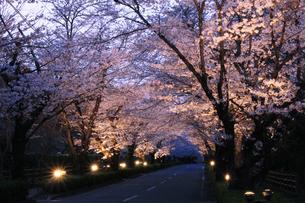 埼玉県長瀞の北桜通りに咲く染井吉野桜のライトアップの写真素材 [FYI04310724]