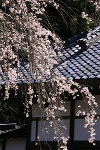 埼玉県長瀞にある法善寺の枝垂桜の写真素材 [FYI04310727]