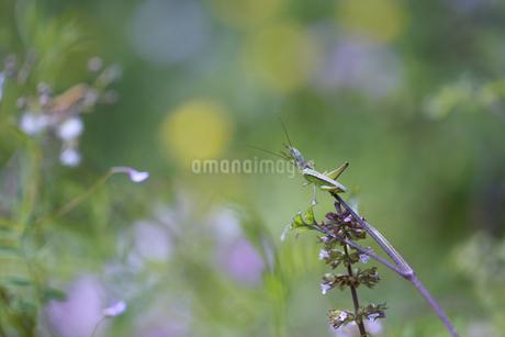 草に止まるキリギリスの幼虫の写真素材 [FYI04310801]