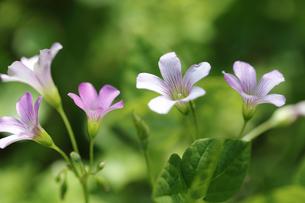色鮮やかに咲くムラサキカタバミの写真素材 [FYI04310804]
