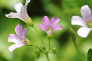 色鮮やかに咲くムラサキカタバミの写真素材 [FYI04310806]