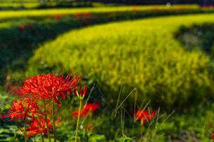奈良県 明日香村 稲渕 棚田と彼岸花の写真素材 [FYI04310873]