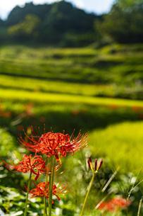 奈良県 明日香村 稲渕 棚田と彼岸花の写真素材 [FYI04310874]
