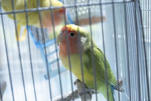鳥小屋にいるかわいいペットのインコの写真素材 [FYI04311034]