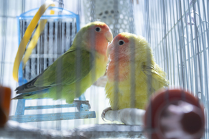 鳥小屋にいるかわいいペットのインコの写真素材 [FYI04311035]