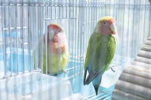 鳥小屋にいるかわいいペットのインコの写真素材 [FYI04311038]