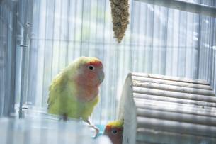 鳥小屋にいるかわいいペットのインコの写真素材 [FYI04311040]